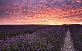 hd scenery pictures beautiful flower fields download loversiq