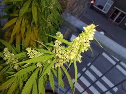 ephedra plant wikipedia cannabis cultivation