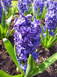 native plant definition hyacinth plant wikipedia