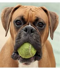 boxer boxer puppies sale at pet store nepal
