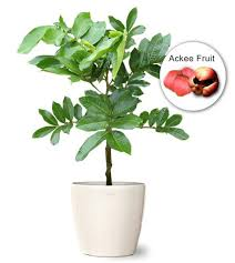 buy ackee fruit tree small wholesale ackee plant blighia sapida