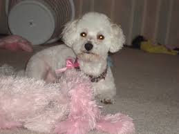 bichon frise dog pictures bichon frise dog picture 4288 pet gallery petpeoplesplace com