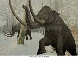 woolly mammoth mammuthus primigenius computer stock photos