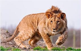 male lion wallpapers africa lion wallpaper africa lion wallpaper 1080p africa lion