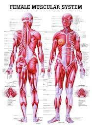 Female Anatomy Image Anatomy Poster Female Muscular System Laminated