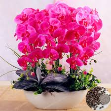 orchid bonsai balcony flower butterfly orchid seeds balcony
