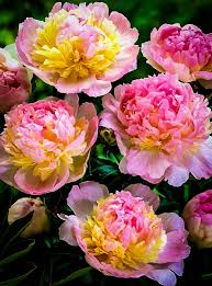 peonies for sale peony raspberry sundae for sale online the tree center