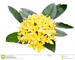 jungle geranium yellow color royalty free stock photography