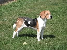 bluetick coonhound basset hound mix scent hound wikipedia