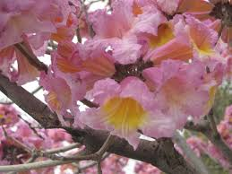 trees with pink flowers deciduous trees that flower before they foliate the smarter gardener
