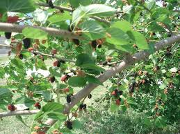 What Fruit Trees Grow In Texas - dewberries and mulberries texas jelly making