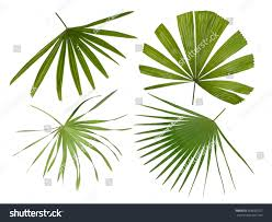 Tropical Design Four Different Varieties Palm Fronds Isolated Stock Photo