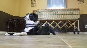 Comfort Pet Certification Texas U0027 First Grief Therapy Dog Offers Comfort To Mourners Story