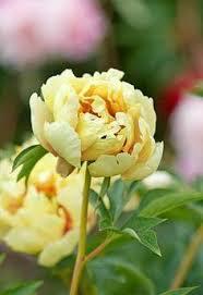 yellow peonies mikasa itoh peony in the nursery peony flowers