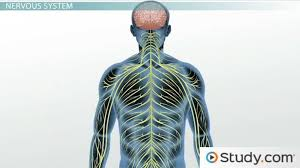 Ans Anatomy And Physiology Peripheral Nervous System Definition Function U0026 Parts Video