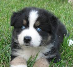 miniature australian shepherd 8 weeks faithwalk aussies growing up aussie