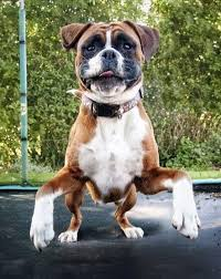 boxer dog mean 10 insanely easy ways to keep your boxer happy u2013 bullymake box u2013 a