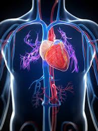 Anatomy Of Human Heart Pdf The Living Heart Revolutionizing Human Health Innovation Blog
