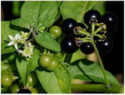 black bean aboriginal use of native plants resources free full text biodiversity of food species of the