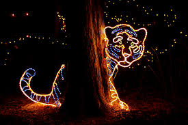 Zoo Lights Pictures by Photo Zoo Lights Tiger Denver Colorado Neighbors