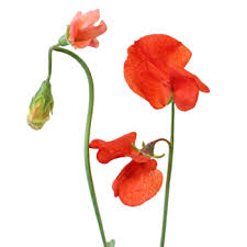 sweet pea flowers pea flower april to july