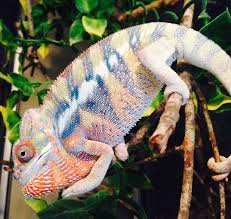 juvenile holdback male ambilobe panther chameleon for sale 1
