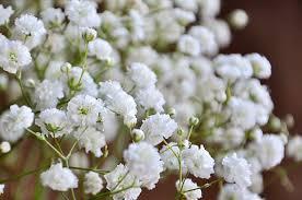 baby s breath heirloom 1200 seeds gypsophila white baby s babys breath bulk