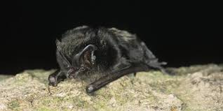 bbc earth seven of the uk u0027s rarest and most extraordinary bats