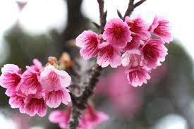 okinawa cherry blossom guide celebrating hanami in january blog