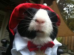 guinea pigs in costumes guinea pig costumes petsmart guinea