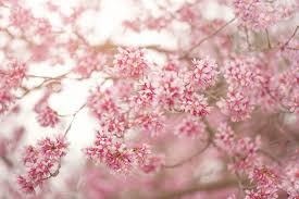 cherry blossoms 11 stunning photos of cherry blossoms just in