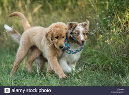 australian shepherd puppy cut dog puppy australian shepherd golden retriever stock photos u0026 dog