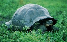 imagenes tortugas verdes gran tortugas verde hd fondoswiki com