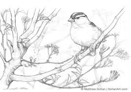 white crowned sparrow bohan art