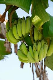bananas on tree free images branch fruit food green produce tropical botany