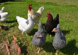 chicken breeds sussex with 15 popular breeds of chickens for