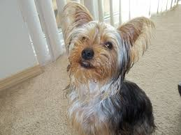 male yorkie haircuts takes about male australian terrier yorkie haircuts hairstyles ideas