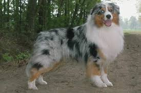 d azumoon australian shepherd australian shepherd some kind of magic u0027s it wasn u0027t me id 14084