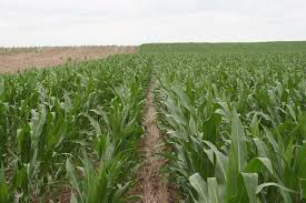 irrigated corn dry land vs irrigated corn small town nebraska