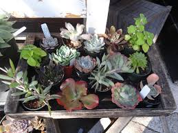 succulent plant tended