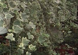 poisonous house plants english ivy