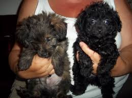 poodle y bichon frise 25 unreal pomeranian cross breeds you have to see to believe