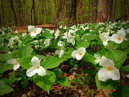 native plants michigan trillium endangered flower native to michigan for my up north