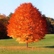 Decorative Trees In India Top 30 Fastest Growing Trees For Your Home Fast Growing Trees Com
