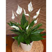 peace lily peace lily amazon co uk garden u0026 outdoors