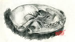 raccoon skull drawing by rgyoung on deviantart
