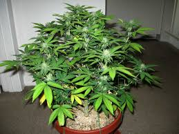 male vs female cannabis plants grow weed easy