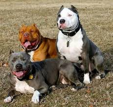 american pit bull terrier life expectancy 301 best bully breeds images on pinterest american bullies