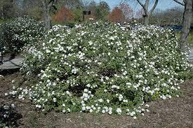 compact koreanspice viburnum viburnum carlesii u0027compactum u0027 at