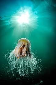 best 25 lion u0027s mane jellyfish ideas on pinterest lion mane
